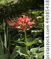 피안 꽃 44085438