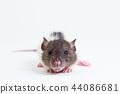 The Brown Lab Rat 44086681