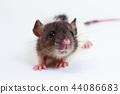 The Brown Lab Rat 44086683