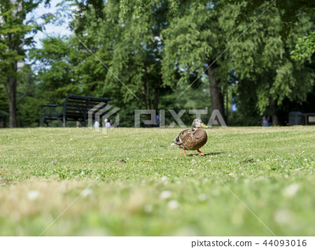 Wolf walking on the grass in the park 44093016