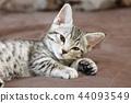 蜡肠猫 小猫 猫咪 44093549