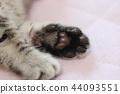 蜡肠猫 小猫 猫咪 44093551