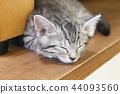 蜡肠猫 小猫 猫咪 44093560