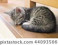 蜡肠猫 小猫 猫咪 44093566