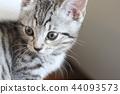 蜡肠猫 小猫 猫咪 44093573