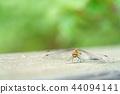 紅蜻蜓Akiakane(八月) 44094141