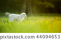 cute little lamb on fresh green meadow 44094653