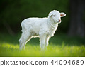 cute little lamb on fresh green meadow 44094689