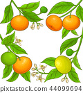 mandarin vector frame 44099694