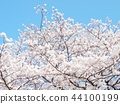 Cherry Blossoms 44100199