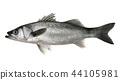 魚 白色背景 白底 44105981