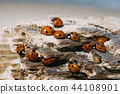 Closeup on ladybugs sunbathing on wooden log 44108901