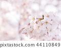 ดอกซากุระบานสะพรั่งภาพฤดูใบไม้ผลิ 44110849