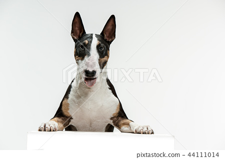Bull Terrier type Dog on white background 44111014