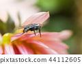 Gray fly in rain drops froze on pink flower 44112605