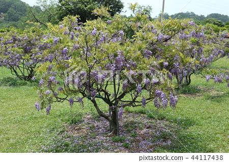 紫藤花 44117438