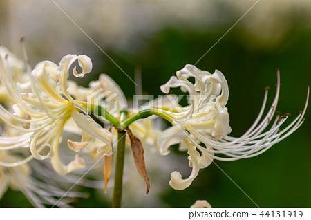 요코하마 고호 쿠구 신사의 경내에 피어 있던 흰 피안 꽃 (감초) 44131919