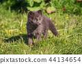 fox, animal, wildlife 44134654