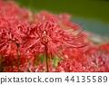 cluster amaryllis 44135589