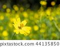 노랑 코스모스 44135850