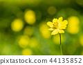 노랑 코스모스 44135852