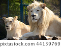 White lion and lioness in zoo 44139769