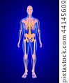 Blue Human Anatomy Body and Skeleton 3D Scan render on blue background from front view 44145609