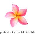 Frangipani flower isolated on white 44145666