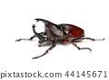 Rhinoceros beetle 44145671