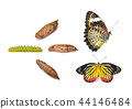 Monarch butterfly emerging from chrysalis 44146484