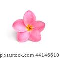 Frangipani flower isolated on white 44146610