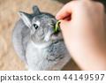 กิน,กระต่าย,สัตว์เลี้ยง 44149597