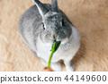ผักกวางตุ้งญี่ปุ่น,กิน,กระต่าย 44149600