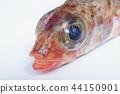 ปลาทะเลน้ำลึกปลาทะเล (เจ้าหญิง) หัวมุมมองแนวตั้งคุณสมบัติตัวหนาของร่างกาย 44150901