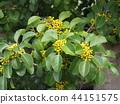 鐵冬青 植樹 園林植物 44151575