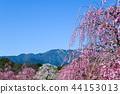 스즈카의 숲 정원의 수양 매화 44153013