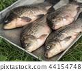 Metal tray with fresh river fish carp  44154748