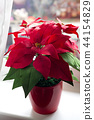 Poinsettia in natural light on a light window 44154829