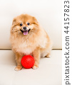 Spitz dog sits next to the ball 44157823
