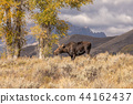 Cow Shiras Moose in Fall 44162437