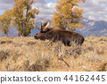 Bull Shiras Moose in the Fall Rut 44162445