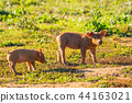 Two piglets busy feeding in a meadow of Gaume 44163021