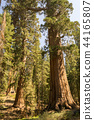 Giant sequoias at Yosemite National Park 44165807