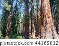 Mariposa tree at Yosemite National Park 44165812