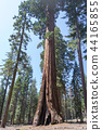 Giant sequoias at Yosemite National Park 44165855