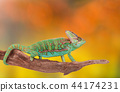 Veiled chameleon (chamaeleo calyptratus) close-up. 44174231