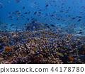 分叉珊瑚 珊瑚 跳水 44178780