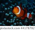 小丑魚 銀蓮花 海葵 44178782