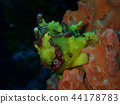 antennarius maculatus, frogfish, frog fish 44178783