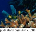 orange sea perch, branch coral, fish 44178784